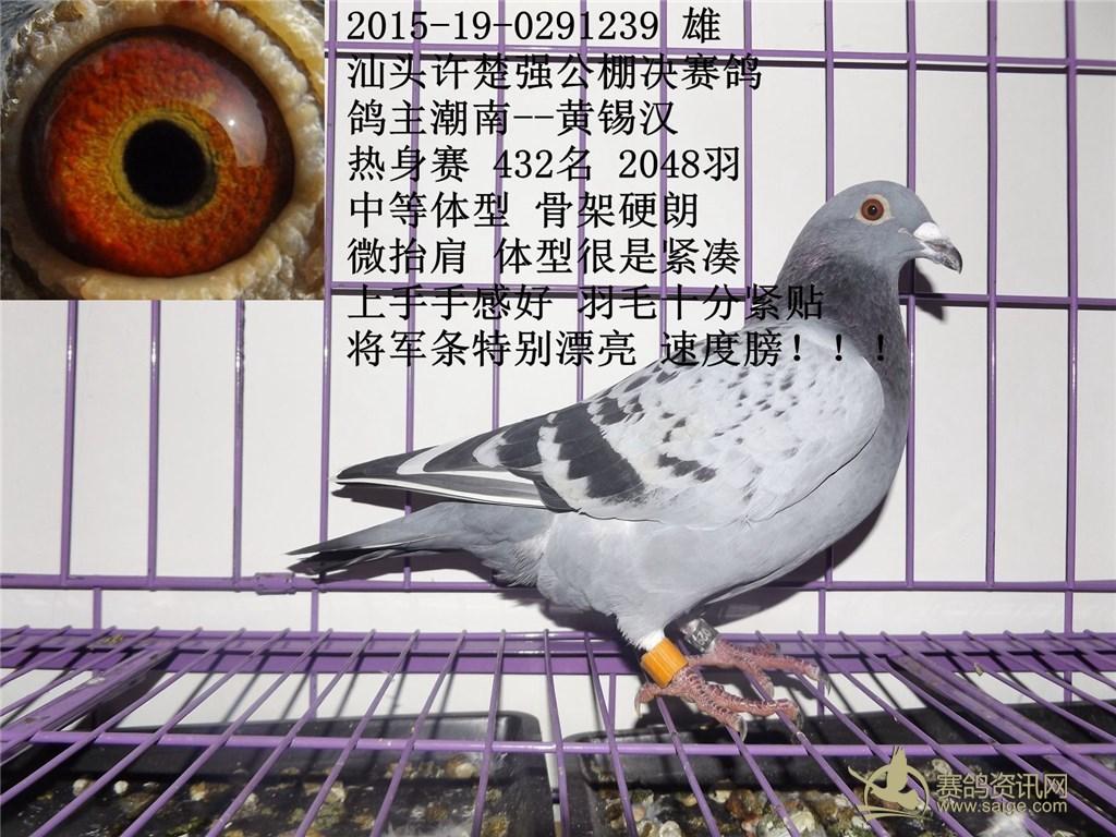 赛鸽 黄锡汉 雨点白条 雄图片