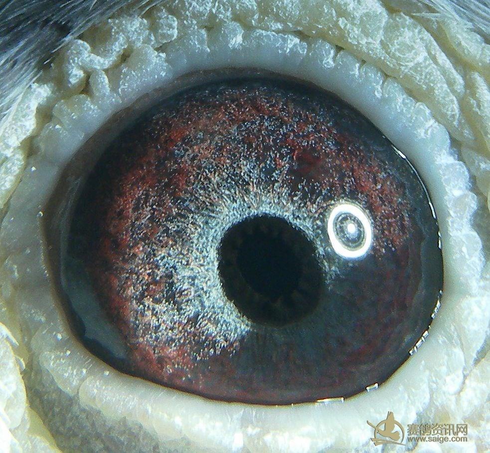 种鸽眼 特少见眼志 全圈锯齿内线口