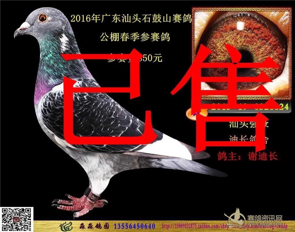 山赛鸽公棚 雨白条 黄眼 雄鸽 血统 杨阿腾 汕头大名家 迪长鸽舍 谢迪长图片