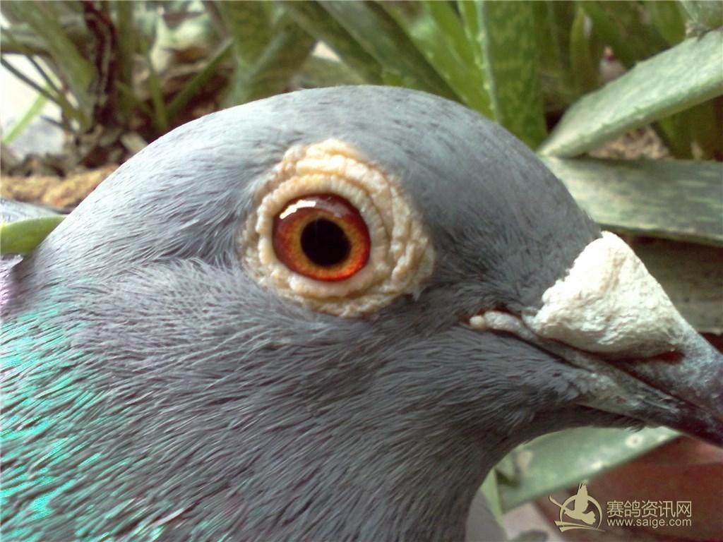 2014年台雌 速度型台鸽 雨点 黄眼 已售图片
