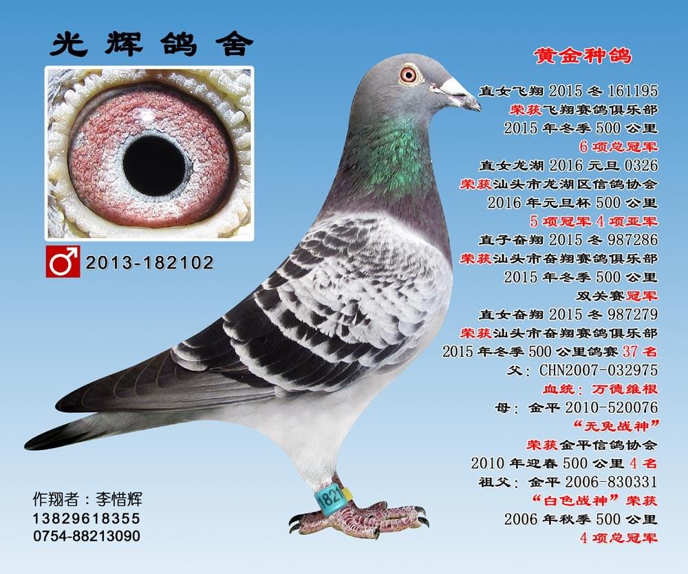 黄金特留种鸽 13-182102