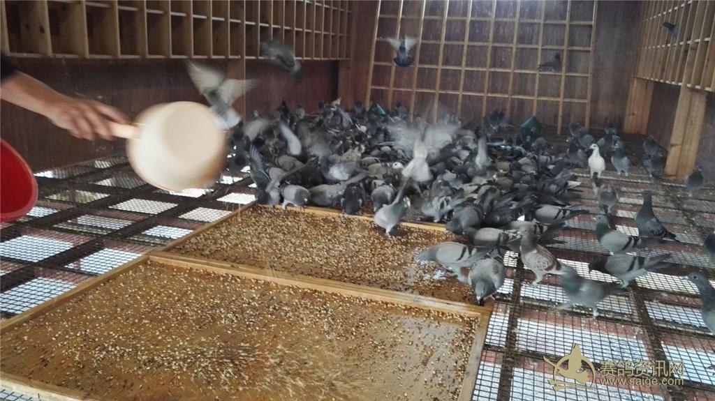 2016年潮州爱亚卡普公棚幼鸽喂食图片