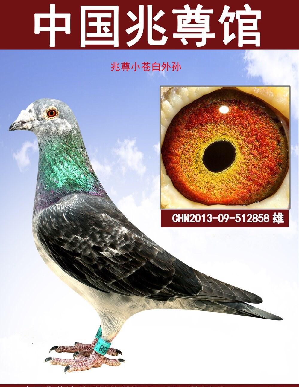 进广西周裕军,天津邓文敏上海兆尊馆和国外名家等主力种鸽多羽