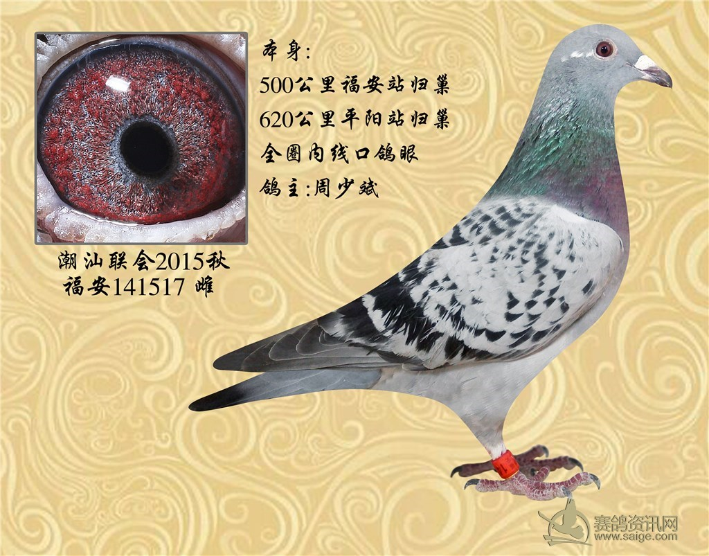 眼睛非常漂亮的500-620公里归巢的母鸽. .价格不贵