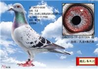 曾庆灵+高汉洲公棚实战鸽 4500元