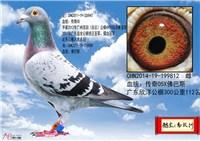 曾庆灵+高汉洲公棚实战鸽 6500元