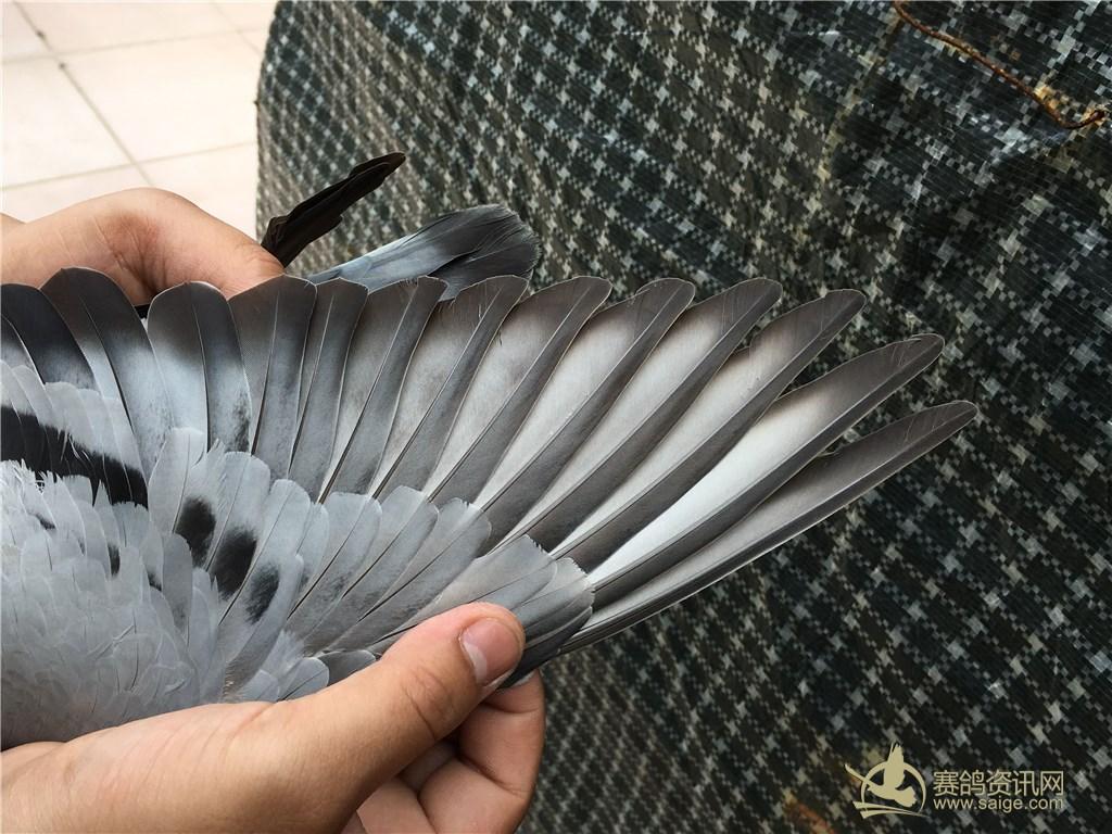 鸽子骨架结构图解