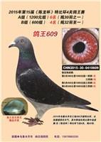 鸽王609