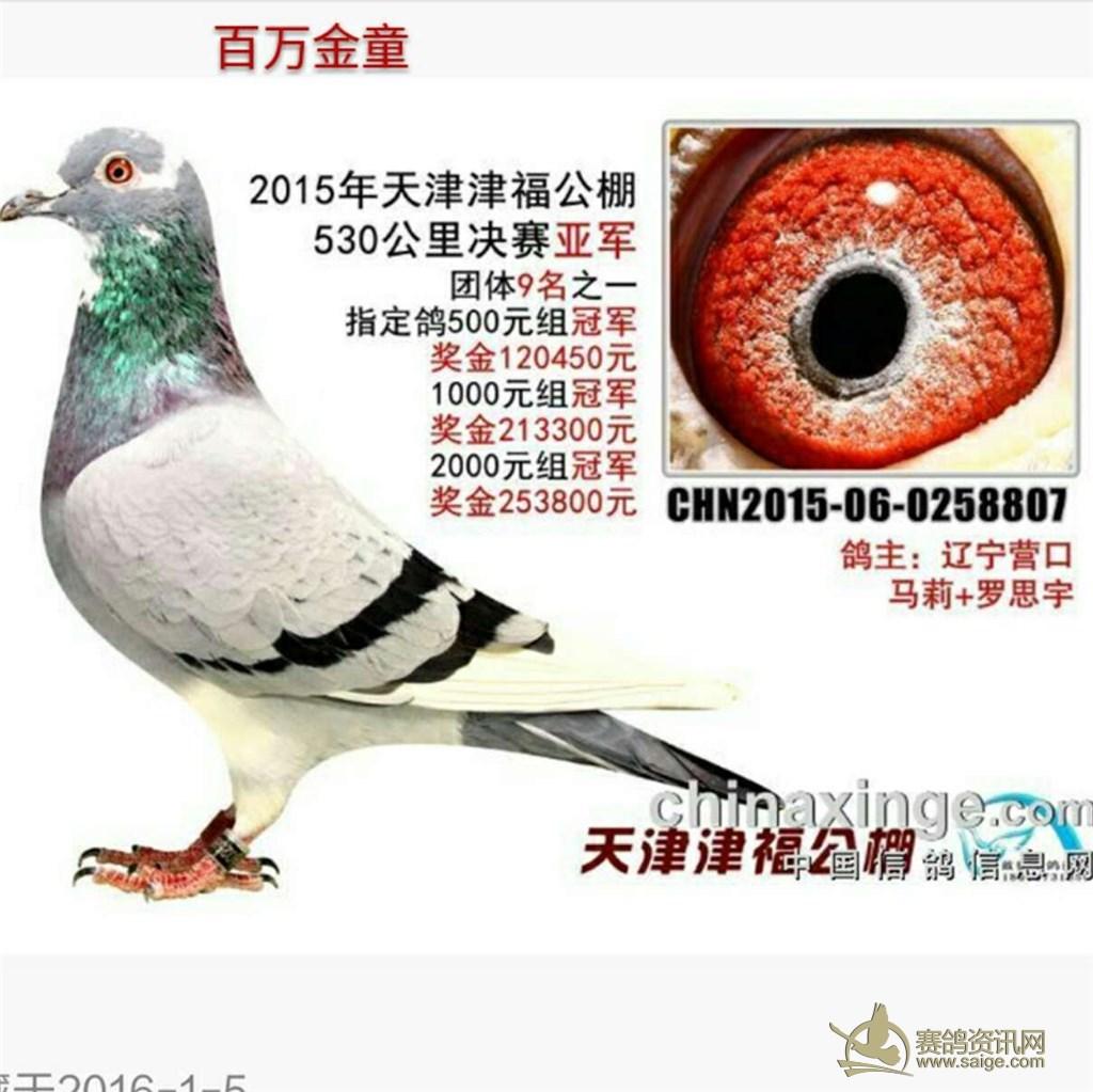 白条或白花鸽,配对最好不要在配带白条或白花鸽,配灰或雨点都行;图片