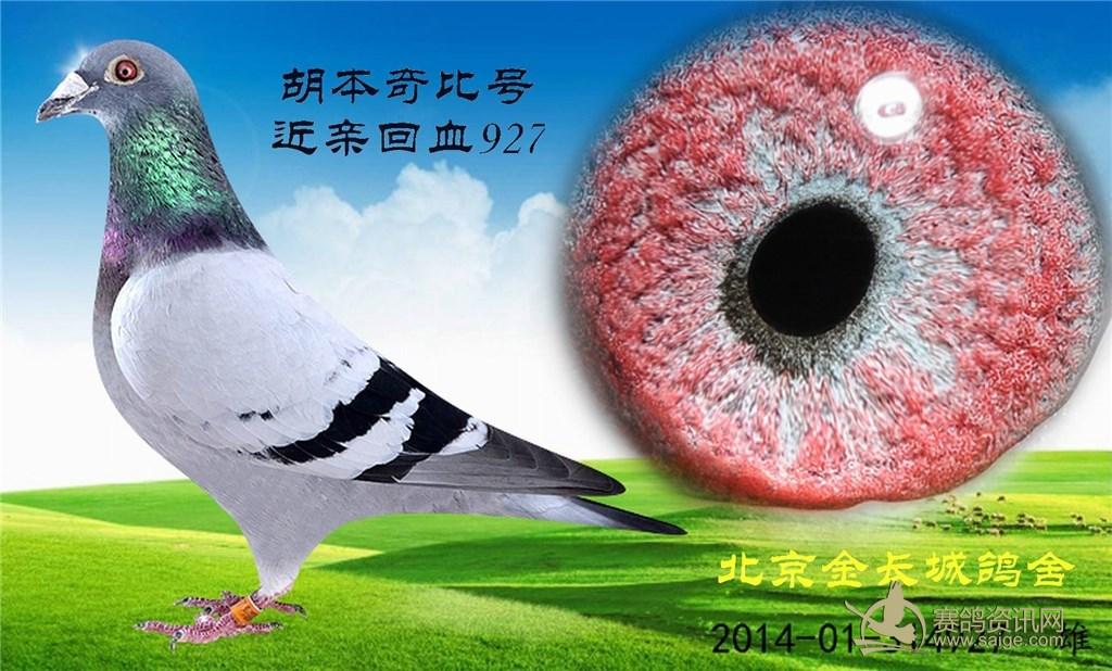 北京金长城鸽舍血统鸽:胡本/詹森019_赛鸽资讯网商城