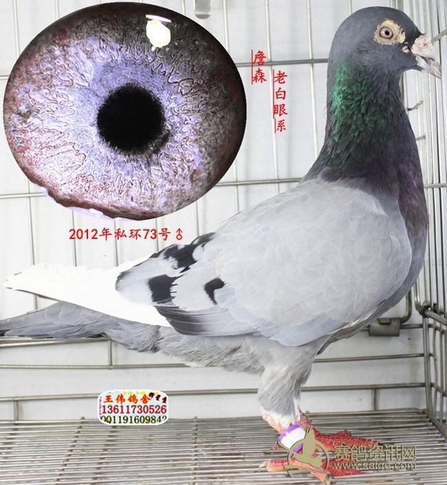 詹森老白眼信鸽眼睛图片