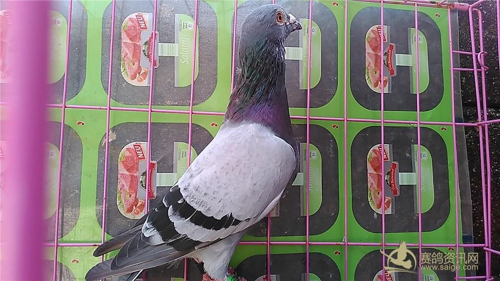 吴家威 深圳/深圳大名家/吴家威,一流种鸽,便宜出售,喜欢加QQ联系