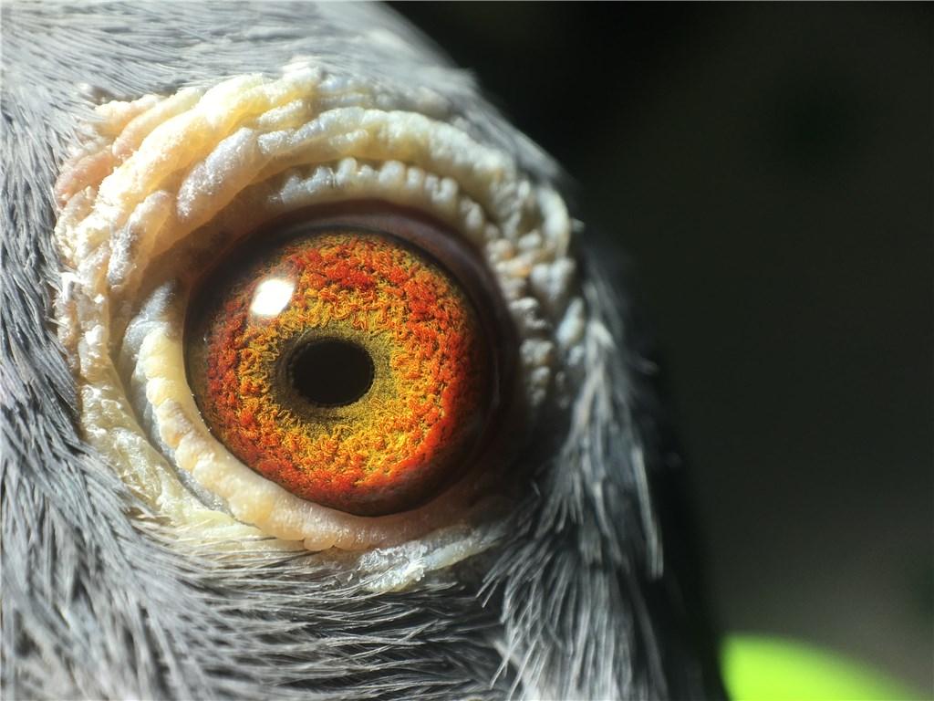 2012年北海多关台鸽鹦鹉小雌母鸽秀气a鹦鹉摸经典嘴巴图片