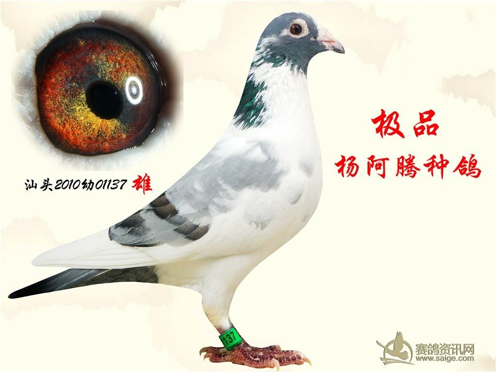 杨阿腾/杨阿腾. 老种鸽...