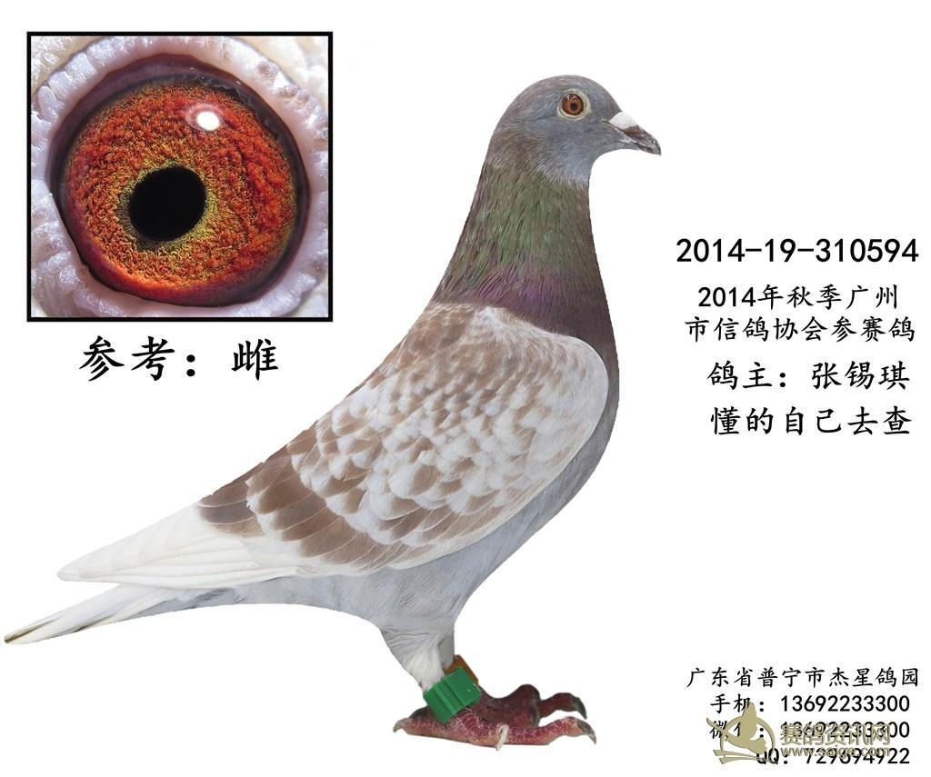14年秋季广州信鸽协会红雨点参赛鸽 雌 谢谢关注 已售出图片