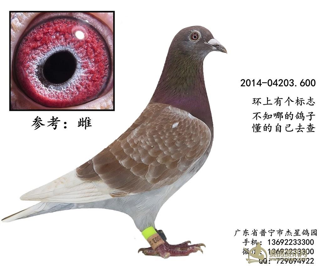 一羽2014年红雨点参赛鸽 雌 谢谢关注 已售出图片