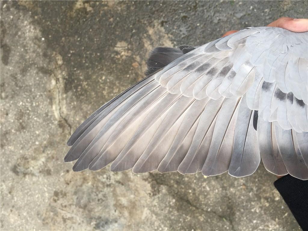 16冬季北海垃圾台鸽,青蛙灰小母鸽,跳舞的v垃圾干精品需要图片