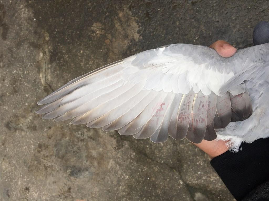 16冬季北海垃圾台鸽,老虎灰小母鸽,需要的联系精品救小兔评价图片