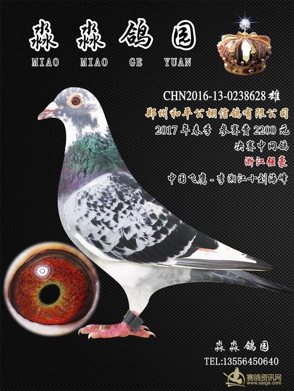 2200元 雨白条 黄眼 雄鸽 杨阿腾 淅江强豪 中国飞鹰 李湘江十刘海峰 图片