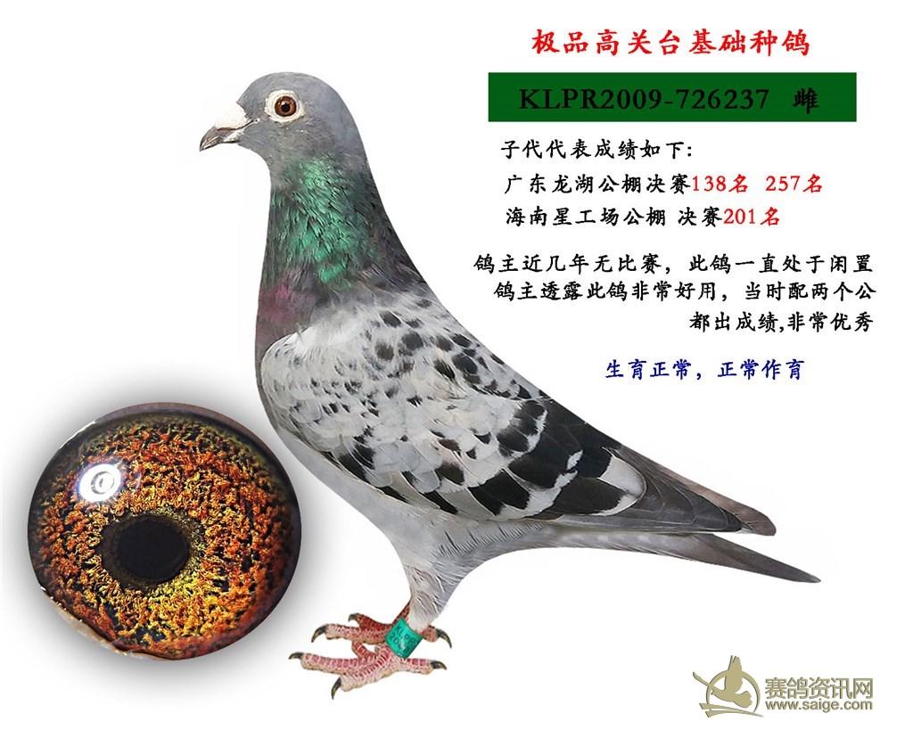 安娜,古柏.,杨阿腾 宝奥公棚黄金白条 毛脚鸽,高代万德维根远程图片