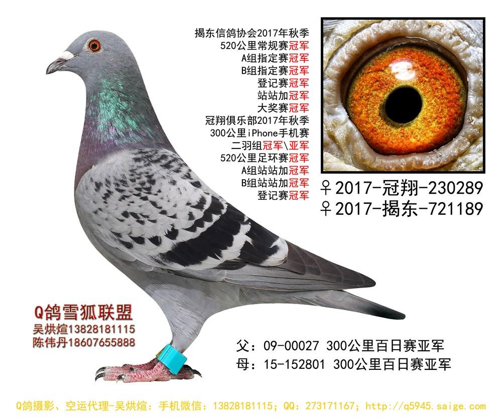 17年秋揭阳冠翔俱乐部520公里足环赛冠军 Q鸽雪狐