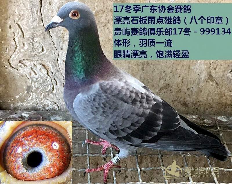 赛鸽 漂亮石板雨点雄鸽 ,敬请关注图片