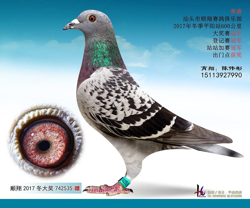 17冬平阳600公里大奖赛冠军 陈伟彬