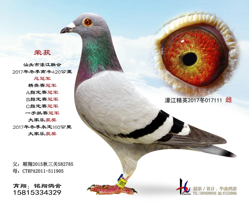 濠江联会2017冬季420公里精英赛冠军 铭翔鸽舍