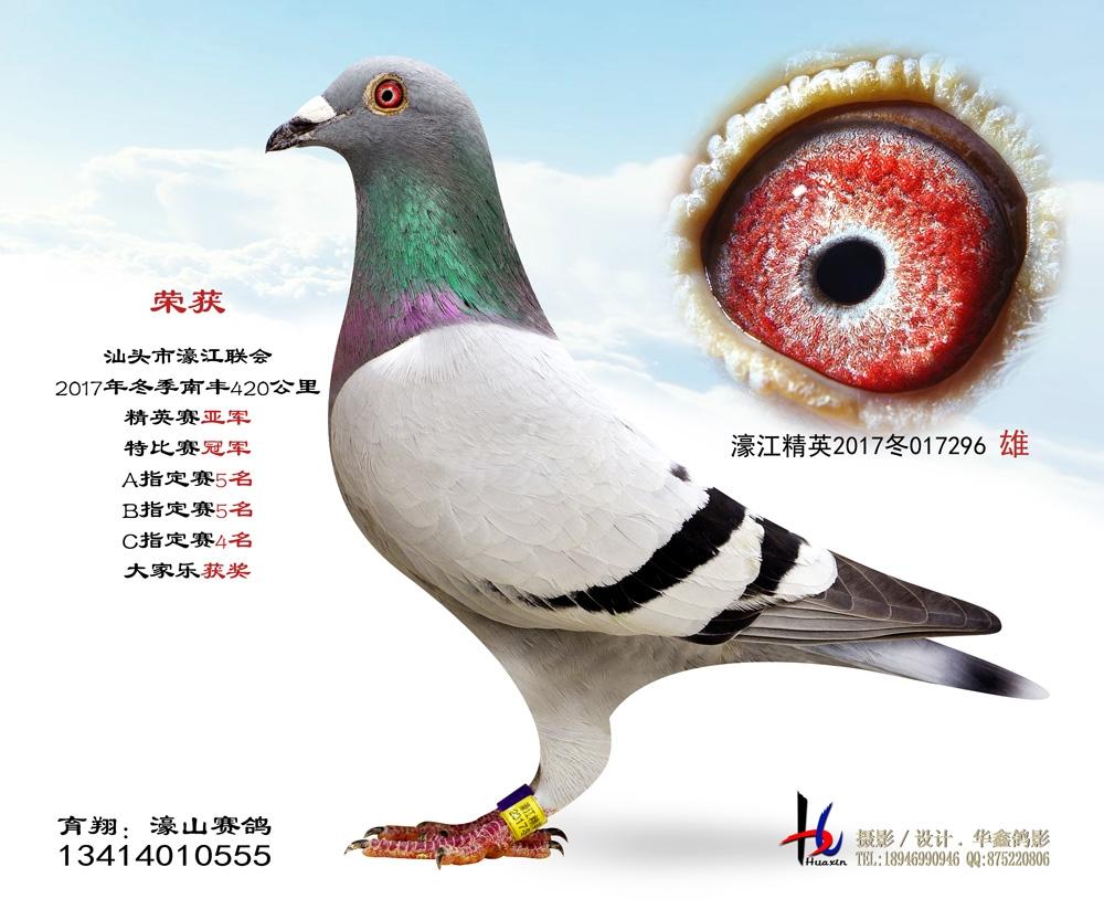 濠江联会2017冬季420公里精英赛亚军 濠山赛鸽