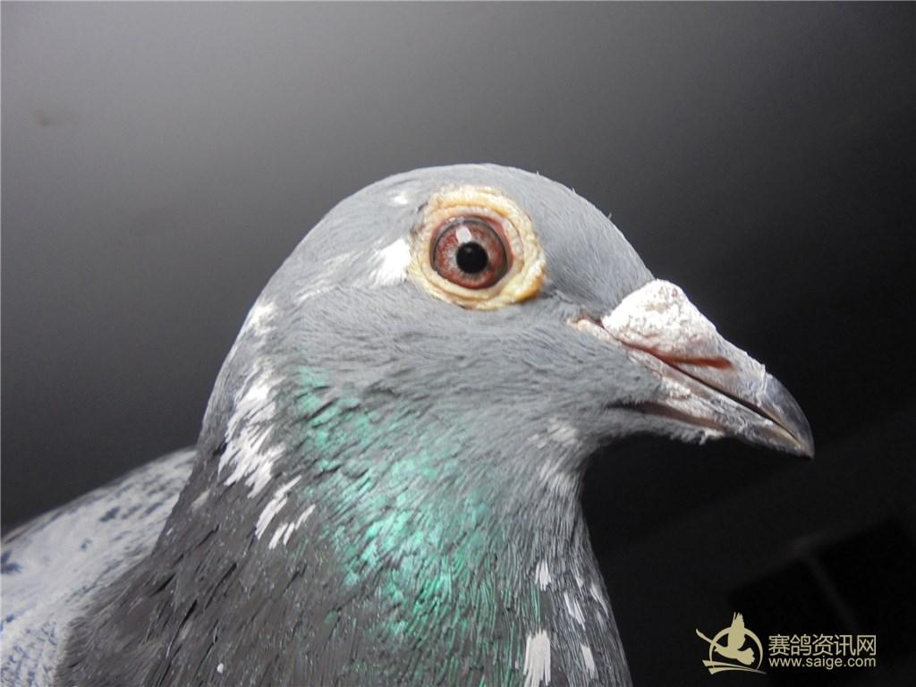 强兴鸽舍,极品雨点花头白条杨啊腾沙眼雌鸽,敬请关注图片