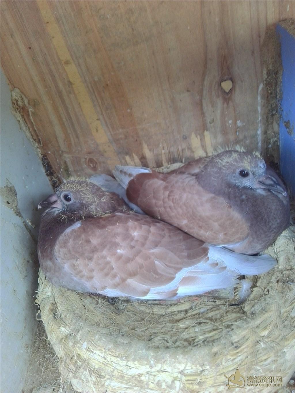 公鸽子,像英国西翁的母鸽子今年付出的两对小鸽子竟然都是一只黄