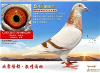 新疆鹏翔赛鸽--新东方37