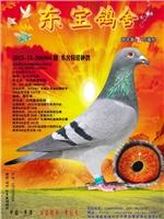 本舍特留种鸽(2013-13-206886)