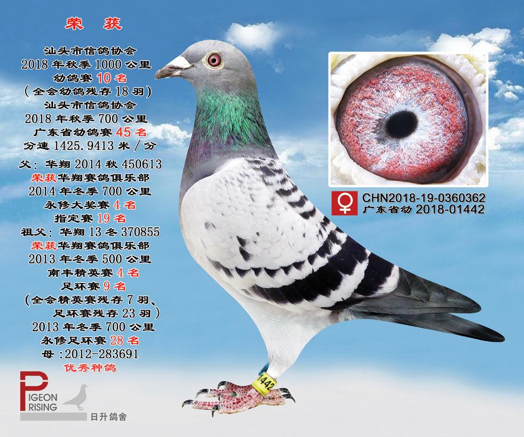 CHN2018-19-0360362雌千公里幼鸽赛10名