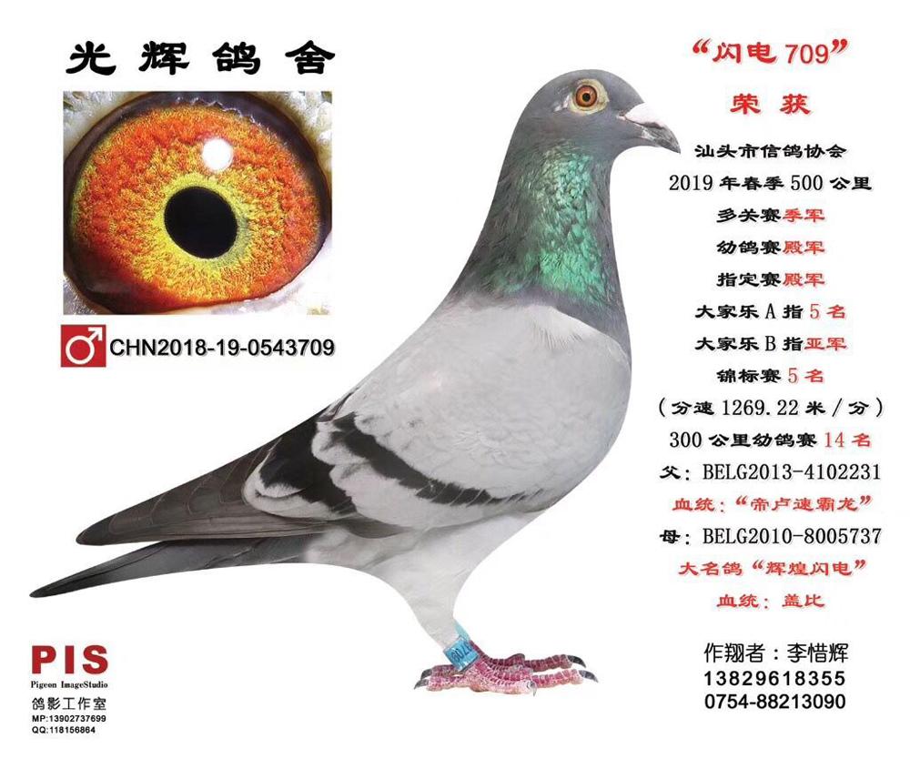 汕头市信鸽协会19春500公里幼鸽赛4名 闪电709