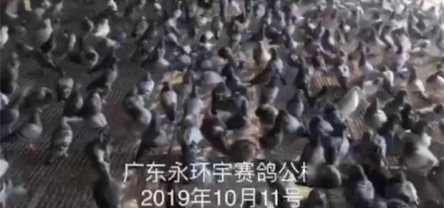 广东永环宇赛鸽公棚10月11日早上大棚幼鸽日常洗浴篇