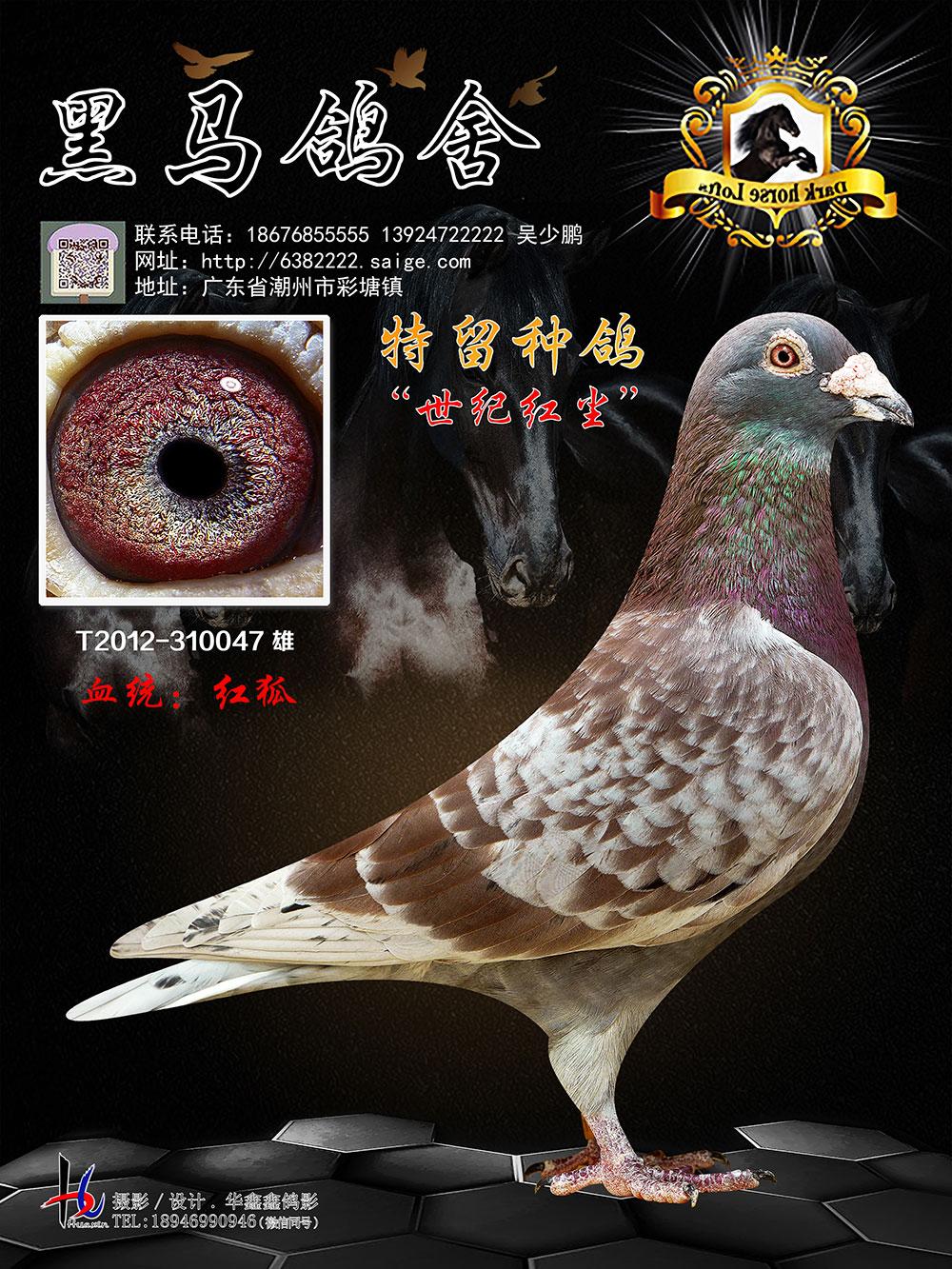 特留种鸽 世纪红尘 T2012-310047