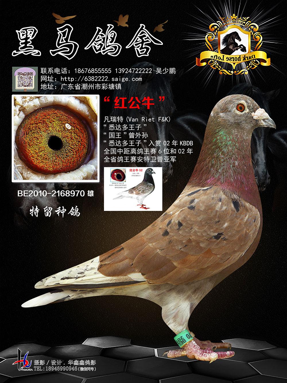 红公牛 全省鸽王赛安特卫普亚军BE2010-2168970