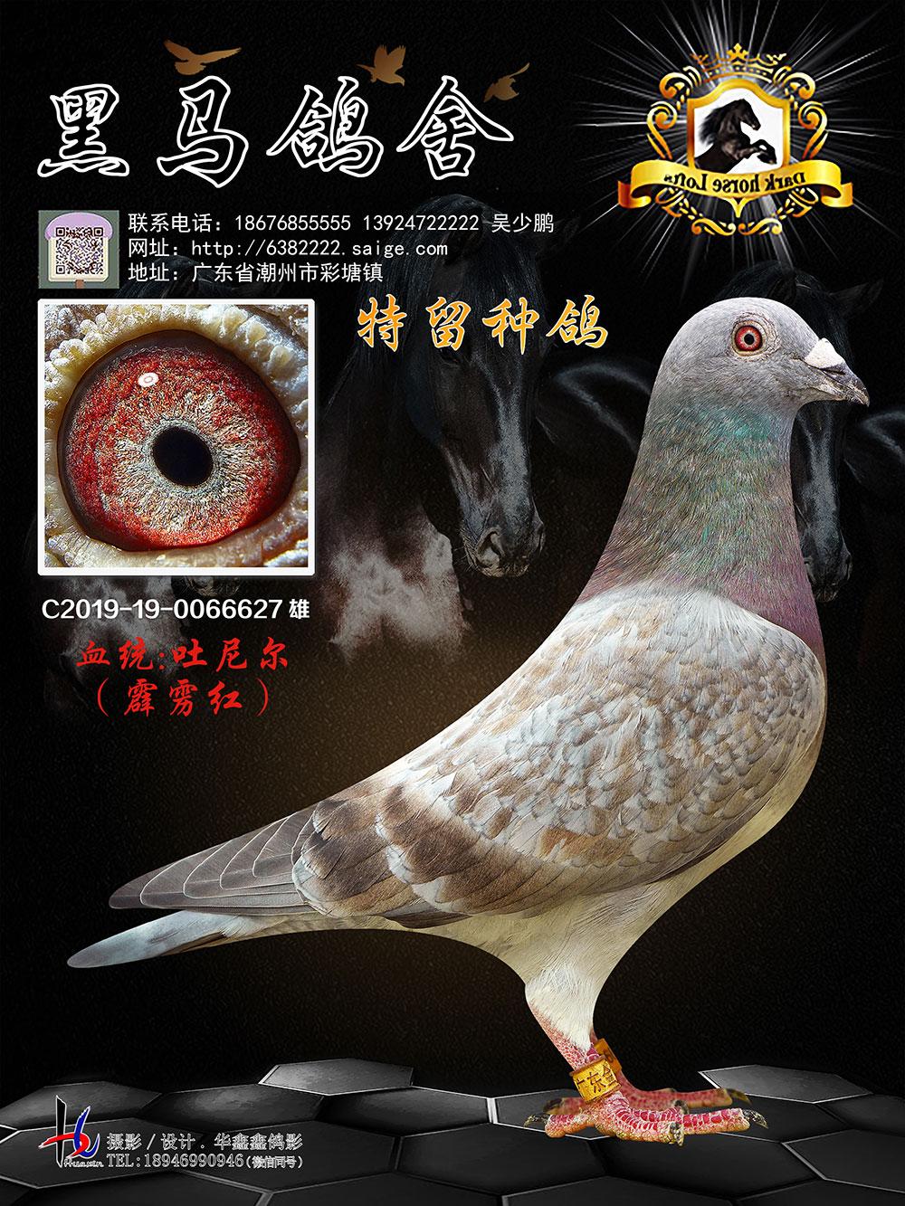 特留种鸽 吐尼尔 霹雳红 19-0066627