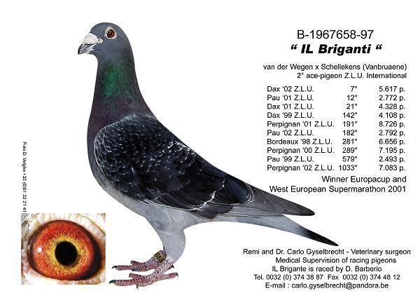 大鸡吧愹il�`�����_名鸽il briganti(超级黑金钢)家族图片全集