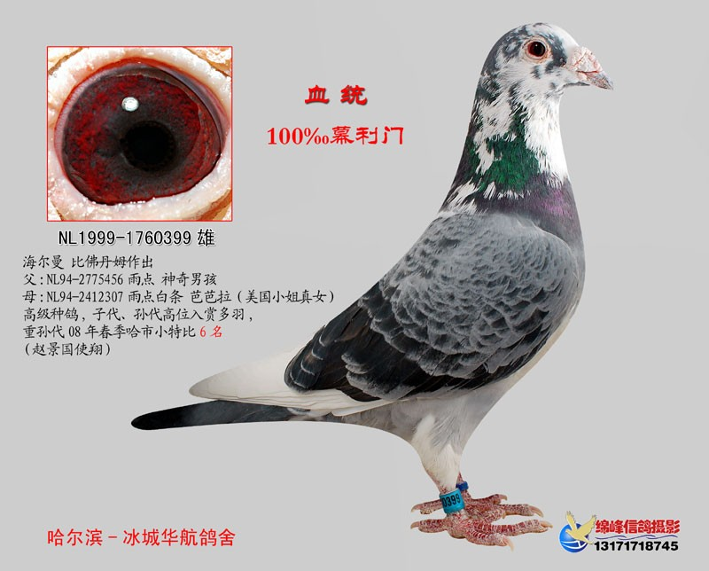 幕利门信鸽_济南鑫胜鸽业出售幕利门火凤凰