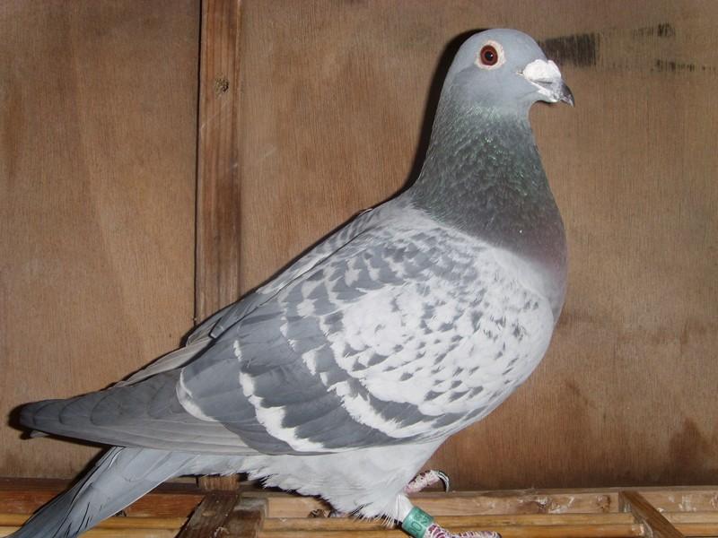 詹森八大种鸽眼志图片-翔茂高级种鸽 詹森