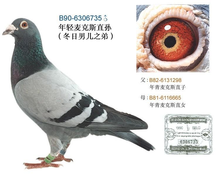 海霸名鸽欣赏图片