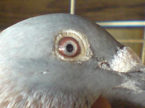 97hk红狐狸眼睛