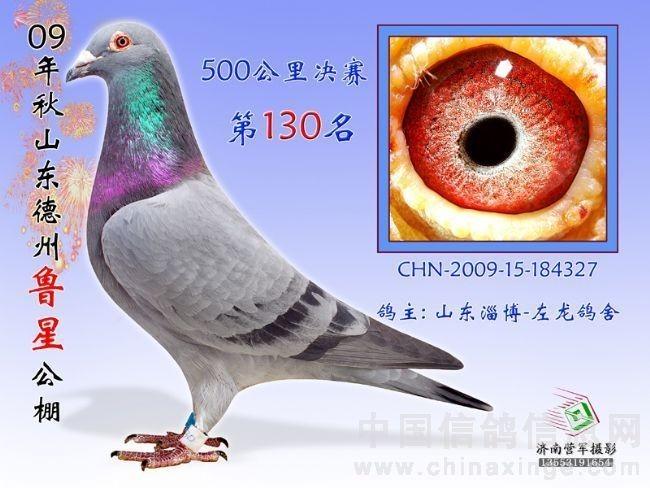 杨阿腾配詹森信鸽图片展示图片