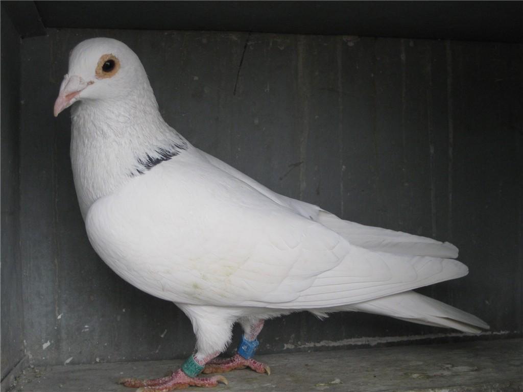 白鸽子-村松白鸽图片