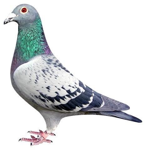 朋友的鸽子
