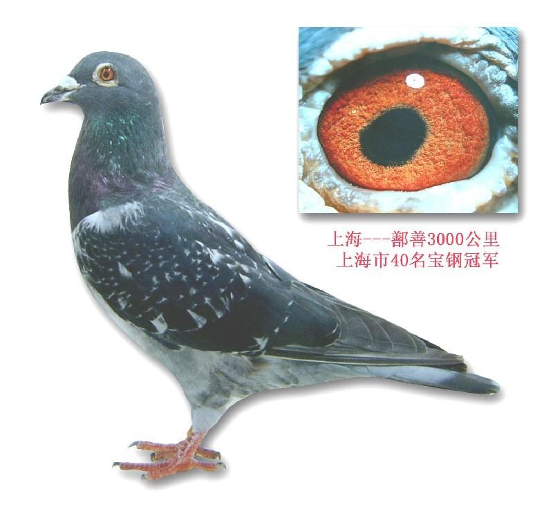 3000公里 鄯善 相册 上海长清鸽舍 陈龙鸟 赛高清图片