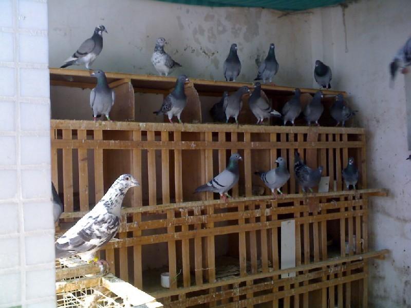 养鸽子的方法_笼子里怎么养鸽子-