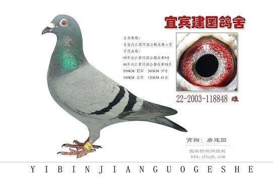 鸽一共有多少种血统 分别是什么血统